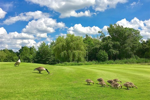 Geese on a green